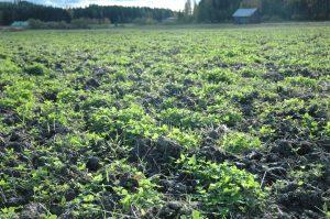 Jatkuvalla kasvipeitteisyydellä voidaan hallita ravinteita ja eroosiota etenkin kasvukauden ulkopuolella. Kuvassa kultivoitu aluskasvi-valkoapila lokakuun lopulla. Kuva: Juuso Joona.