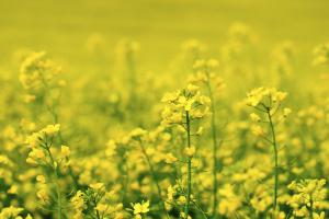 Viljely-ympäristön monimuotoisuuden perustana on monipuolinen viljelykierto. Kuvassa rypsikasvusto. Kuva: Luken arkisto.