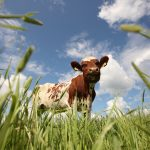 Ayrshire-lehmät ja hiehot laitumella