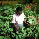 Kenialainen viljelijä kerää lehtikaalia puutarhassaan. Uudet sadeveden keruussa sekä sadonkorjuussa auttavat tekniikat ovat parantaneet satoa sekä kasvien terveyttä. Kuva: ©FAO/Christena Dowsett 2013