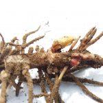 Härkäpavun juurinystyrät (1)