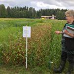 Riitta Savikurki Pro Agria Etelä-Savosta kertoo tattarin viljelystä. Kuva: Riitta Savikko / Luken arkisto.