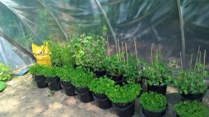 OKRA-näyttelyssä esiteltävät palkokasvit kasvamassa kasvihuoneessa Mikkelissä.
