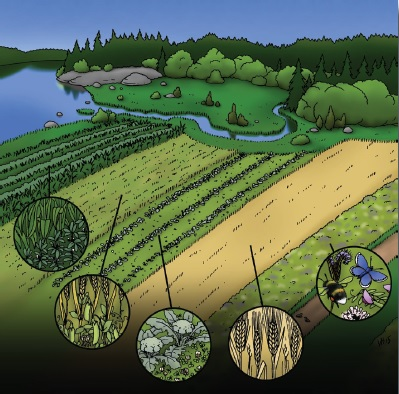 Kuva 1. Sekaviljelyn muotoja (vasemmalta): 1) maissin ja pavun rivisekaviljelyä, 2) herneen ja viljan seosviljelyä, 3) valkoapilaa kaistaviljeltynä parsakaalin peitekasvina, 4) viljan lajikeseosviljelyä, 5) monimuotoisuuskaista on myös sekaviljelyä. Kuva: Ville Heimala.