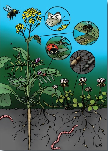 Kuva 2. Ekologisia vuorovaikutuksia rypsin, virnan ja apilan sekaviljelyssä. Rypsin paalujuuri läpäisee maata hyvin, sen kukat houkuttelevat pölyttäjiä ja sen varsi tukee rentokasvuista virnaa. Virna tarjoaa mettä kasvinsyöjien luontaisille vihollisille kuten loispistiäisille, jotka rajoittavat rypsin tuholaisten määrää. Apila peittää maata, suojaten rikkakasveilta, ja jatkaa kasvuaan rypsin korjuun jälkeen. Sekä virna että apila myös sitovat typpeä ilmasta juurisymbionttien avulla. Monipuolisuus maan alla ja päällä lisää usein myös yleissaalistajien esiintymistä ja rikastaa maaperäeläin- ja mikrobiyhteisöä. Kuva: Ville Heimala.