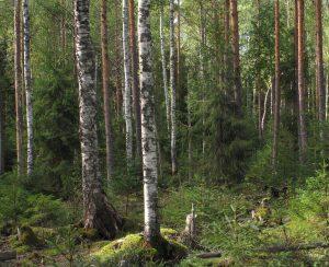 Metsä, jossa on erikokoisia puita, on hyvä lähtökohta jatkuvapeitteiselle metsänkasvatukselle. Sen onnistuessa ojien kunnostukseen ei ole tarvetta. Kuva: Hannu Nousiainen.