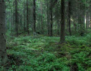 Korvesta kehittynyt mustikkaturvekangas. Kuva: Hannu Nousiainen.