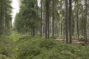 Jatkuvapeitteisessä metsänkasvatuksessa vedenpinta voidaan pitää riittävän alhaalla puuston avulla ja ojia ei tarvitse kunnostaa. Kuva: Erkki Oksanen.