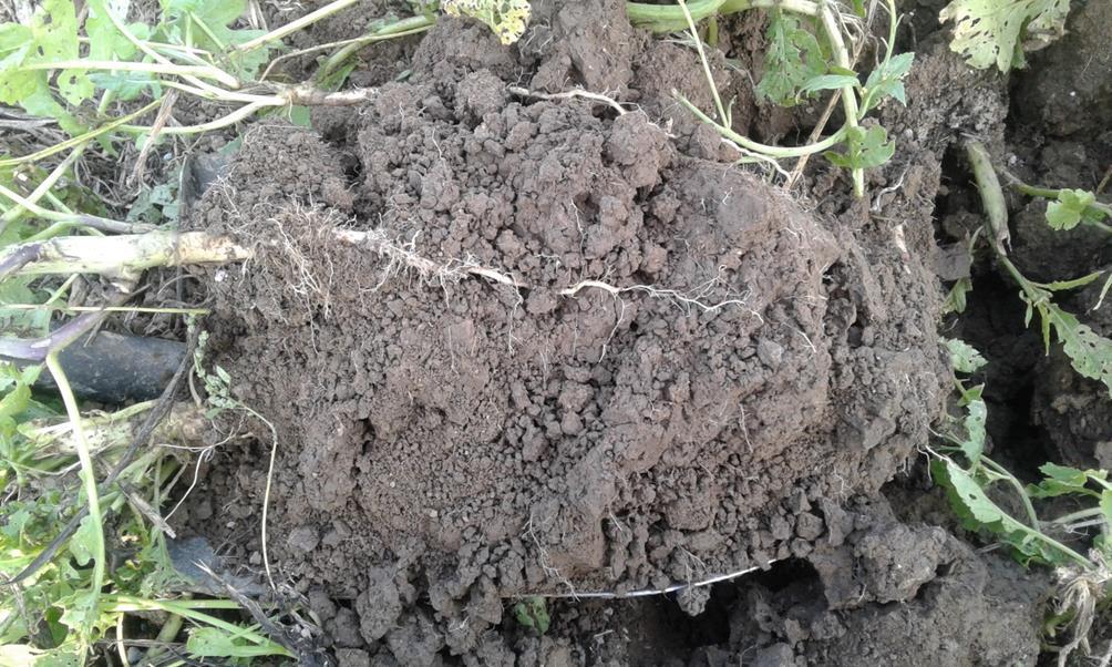 Saneerauskasvina käytetyn retikan juuristo tunkeutuu kohtalaisesti maahan myös kuivana vuonna. Kuva: Kalle Kivelä.
