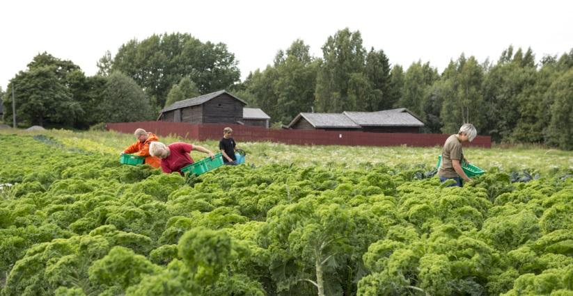 Maan hyvä kasvukunto antaa satoa kaupunkiviljelyssä Herttoniemen museokartanolla. Kuva Anna Riikonen.