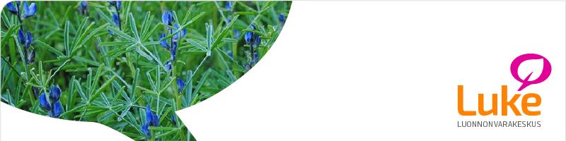 kuva sinilupiinista